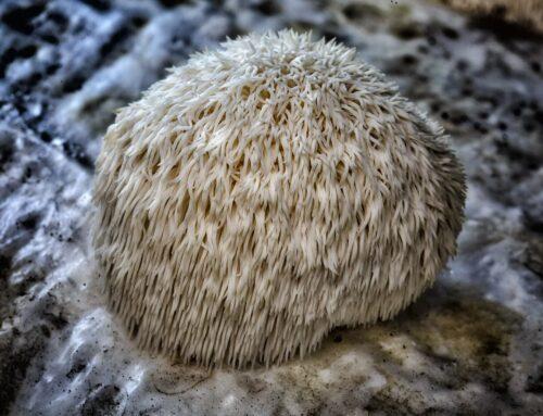 Growing Lions Mane (Hericium erinaceus) Mushrooms