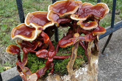 Red Reishi Mushroom Growing Kit (Ganoderma lucidum kit)